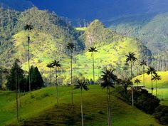 Esos son los árboles más altos de palma en el mundo.