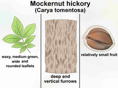 Hickory - belonging to a section of the Walnut family - is a canopy tree that is prevalent in eastern North America, although other species of hickory have been known to exist in Europe, Africa and Asia. The hickory tree produces a dense,...