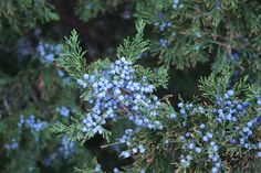 canarti juniper Types Of Plants, Flowers, Trees, Tree Structure, Royal Icing Flowers, Wood, Flower, Florals, Floral