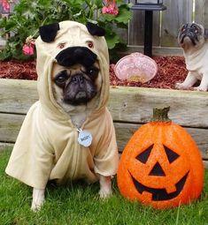 Pug in pug costume