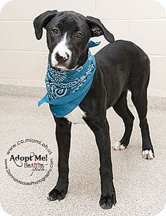 Troy, OH - Pit Bull Terrier/Labrador Retriever Mix. Meet Addie a Dog for Adoption.