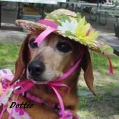 Dottie West is available for adoption at www.ddrtx.org Diamond Dachshund Rescue of Texas