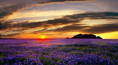 The Texas Hill Country is known for its fields of Blue Bonnets ...  photographed by Larry White Photography