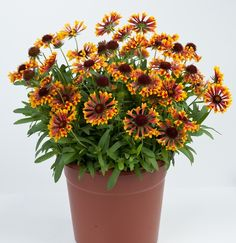 2015: Year of the Gaillardia - Galya Corneto Blaze is drought resistant and prefers sunny, dry locations.