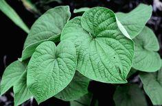 La kava es una medicina ancestral que ha probado ser efectiva en contra de la ansiedad.