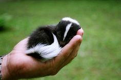 """baby skunk! who knew they could be this cute! I want a tattoo of this picture. My grandmother loved skunks and her nickname was """"Stinker""""."""