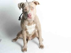 Meet COOPER, an adoptable Pit Bull Terrier looking for a forever home. If you're looking for a new pet to adopt or want information on how to get involved with adoptable pets, Petfinder.com is a great resource.