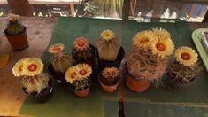 Astrophytum csoport Cactus Flower, Cacti And Succulents, Flowers, Plants, Plant, Royal Icing Flowers, Flower, Florals, Floral
