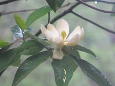 My Magnolia tree just outside my window ~ Tailored Florals by Holly