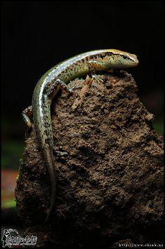 Lizard in Taiwan  台灣滑蜥