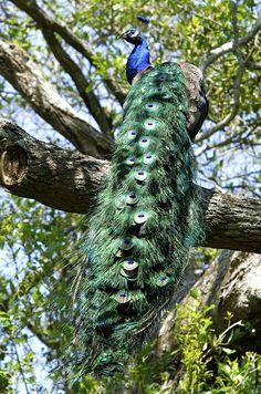 Peacock - Rip Van Winkle Gardens, Delcambre, Louisiana
