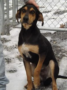 VIRGINIA ~ URG'T ~ meet ID 28937 an adoptable 8mo oldBlack & Tan Coonhound puppy dog in Lyndhurst.   ~~  Adoption Fee 25.00 ~~ To adopt  this sweet pup contact Shenandoah Valley Animal Service Center       1001 Mt. Torey Rd Lyndhurst, VA 22952       ~ Ph (540) 943-5142     mailto:svanimalse... ~ shenandoah.animal... --pin 1.4.13
