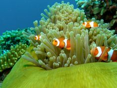 Love these pictures with clown-fish in the coral reefs and their nature homes.