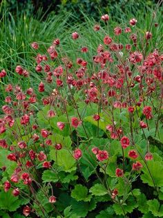 Geum rivale 'Leonards Variety' / Bachnelkenwurz günstig bestellen. ❀Top-Qualität ❁Günstige Lieferung ✿Riesiges Sortiment - 2400 Stauden & Wasse... Bog Garden, Shade Garden, Dream Garden, Garden Plants, Terrace Garden, East Facing Garden, Alchemilla Mollis, Front Flower Beds, California Native Garden
