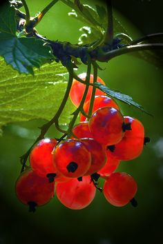 Red currants ( from I Love Fruits FB page) Fruit And Veg, Fruits And Vegetables, Fresh Fruit, Photo Fruit, Shades Of Red, Fruit Trees, Red Green, Mother Nature, Exotic