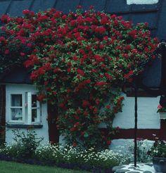Rosa kordesii 'Flammentanz' är den härdigaste klarröda klätterrosen. Blommar bara en gång men generöst och långvarigt med stora, fyllda blommor. Kan bli 4-5 m hög och nästan lika bred i de södra delarna av landet, i zon 5 högst 3 m. Zon VI.