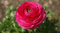 Fuchsia ranunculus for wedding bouquet.