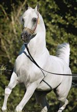 Audacious PS  (Fame VF x Hal Flirtatious)  Owned by: Varian Arabians