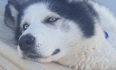 Dog husky blue eyes