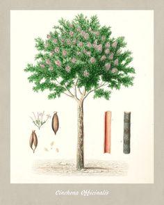 Quinine Botanical Print Vintage Quinine by FabVintagePosters