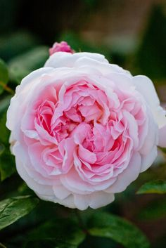 'Eglantyne'   David Austin English Rose. Austin 1985   Flickr - © Yoko Nekonomania
