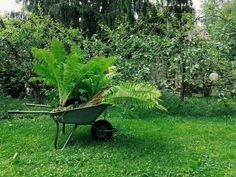 Ostrich fern  Got these from my mothers garden since they have...