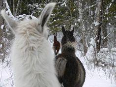 winter walking with the llamas