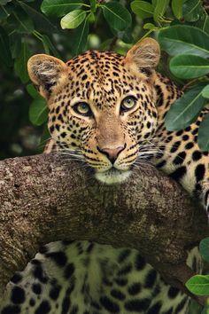 Leopard in a Tree Vida Animal, Mundo Animal, Beautiful Cats, Animals Beautiful, Big Cats, Cute Cats, Regard Animal, Animals And Pets, Cute Animals