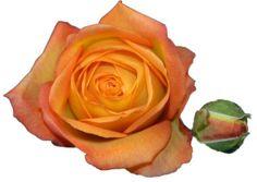 #Fiction. Order them online @ www.parfumflowercompany.com or go visit your florist.