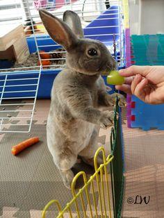 ~ Mini Rex Rabbit ~