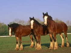 Clydesdales ~ Beautiful Horses