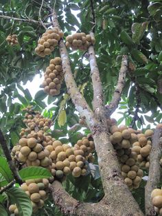 Langsat fruit tree
