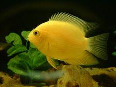cichlid yellow forum freshwater fish
