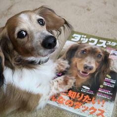 * . ダックススタイルっていう雑誌を見ていたりきとの会話。 . りき. 「このチョコレート色の子、ステキだね。」. . わたし. 「りきはこういう子が好みなの?」. . りき. 「う~ん・・・. きーちゃんみたいなフワフワのクリームも好きだし・・・. ひめちゃんみたいなツヤツヤのブラックも好き。」. . わたし. 「・・・」. . りき. 「女の子はみんな好き。」 * * * * #犬#いぬ#イヌ#わんこ#ワンコ#愛犬#動物#ダックスフンド#ダックス#ミニチュアダックスフンド#ミニチュアダックス#パイボールド#dog#dogs#animal#animals#dachshund#miniaturedachshund#piebald#EOS_M3#EOSM3#EOSM#キャノン#CANON#ダックススタイル#ダックススタイルvol29  コメントが返せないことが多くてごめんなさい💔 フォローは無言でも大歓迎です✨✨✨