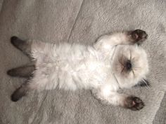 Sleeping ball of fluff Baby Animals, Animals And Pets, Funny Animals, Cute Animals, Funny Cats, Crazy Cats, I Love Cats, Cute Cats, Animals Beautiful