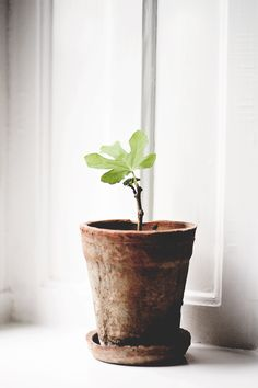 Indoor Gardening Quick, Clean Up, And Pesticide Free - Make Your Own Fig Plant In Terracota Vase Green Plants, Potted Plants, Indoor Plants, Garden Care, Belle Plante, Deco Nature, Pot Plante, Plants Are Friends, Style Deco
