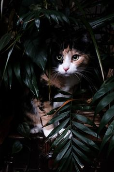 Step from the Jungle Our calico cat, Luxie, hiding among the houseplants.Our calico cat, Luxie, hiding among the houseplants. Kittens Cutest, Cats And Kittens, Cute Cats, Funny Cats, Ragdoll Kittens, Tabby Cats, Bengal Cats, White Kittens, Black Cats