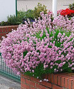 Lavendel 'Loddon Pink' Deze verrassend roze bloeiende lavendel is een prachtig gezicht in elke tuin! Ze is in alle opzichten net zo gemakkelijk als de bekende blauwpaarse lavendel. Deze wintergroene plant houdt van de zon. Het is een heerlijk geurende lavendel. Lavendel is bijzonder geschikt voor in een border maar ze kan ook als een mooie, laagblijvende haag geplant worden. Als ze de goede hoogte bereikt heeft is het verstandig om de lavendel direct na de bloei, eind sept te snoeien.