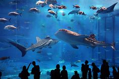 Whale sharks from the GA Aquarium. Via: villere Soaring in the Deep Blue (by sirazn)