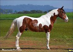 Mangalarga Marchador - gelding Faísca do RC