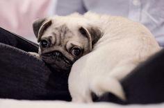 Baby pug says: Do you like my booty?