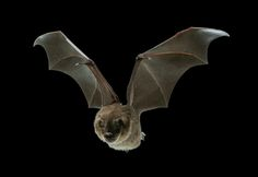 A Jamaican fruit bat in flight. Brown University researchers found that #bats appear to use a network of hair-thin muscles embedded in the membrane of their wing skin to adjust the wings' stiffness and curvature while they fly. [Credit: Jorn Cheney, Swartz/Breuer Lab, Brown University]