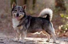 Swedish Vallhund. I wonder if my Sammy is any relation? they have very similar builds. SUper cute!