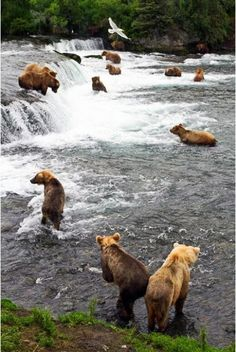 bears in Water at Katmai National Park.