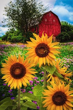 Summertime Fields is a photograph by Debra and Dave Vanderlaan. An old red wooden barn sits under big puffy clouds, waiting for the rain while happy sunflowers dance in the light summer breeze amid the pretty wildflower field... Found along the back roads of America, this charming vintage red barn is out in the western reaches of the countryside in the beautiful state of Michigan in Dutch farmland and Amish country. Source fineartamerica.com