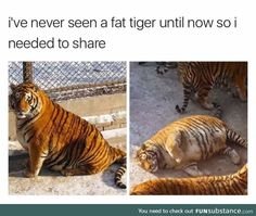 Fat tigers are a thing you should know exist