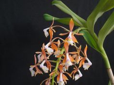Epidendrum greenwoodii