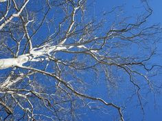 The sycamore tree is one of my favorite winter trees because of its nice white bark. It's not a mountain tree but is often found growing along rivers and . Native Plants, Trees, Clouds, Outdoor, Outdoors, Tree Structure, Outdoor Games, The Great Outdoors, Wood