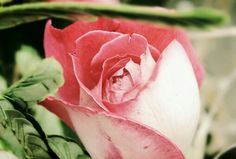 tsū is a free social network and payment platform that shares up to 90% of revenues with its users.You can register here : tsu.co/iammiky #tsu #tsū #social #network #users #free #friends #originalcontent #rose #flower #nature