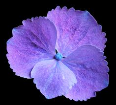 Hydrangea macrophylla 'Hilary's Blue Lace' is a large vigorous shrub with deep green foliage and large purple-blue lacecap flowers.